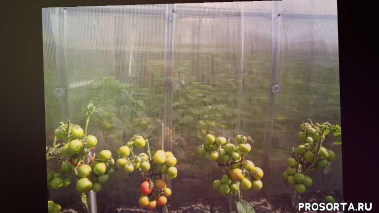 сад огород, самые компактные томаты, неприхотливые томаты, урожайные томаты, чернова, ольга