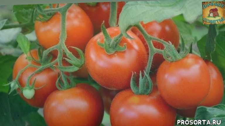 самые лучшие сорта помидор, ранние сорта томатов, семена помидоров, скороспелые томаты, ранние томаты, обзор семян, дачные советы, огородник