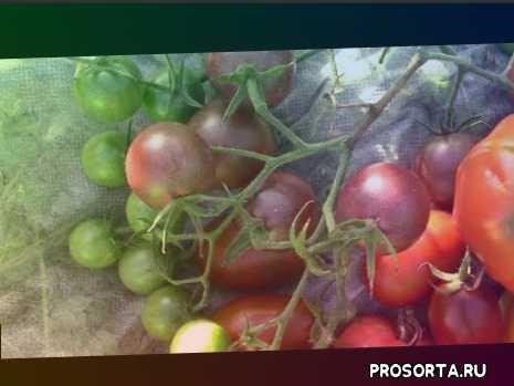 любимый сорт помидоров афрочерри, самые проверенные сорта помидоров, помидоры афрочерри суперсорт, суперсорт помидоров афрочерри, лучшие помидоры, самый вкусный помидор, афрочерри