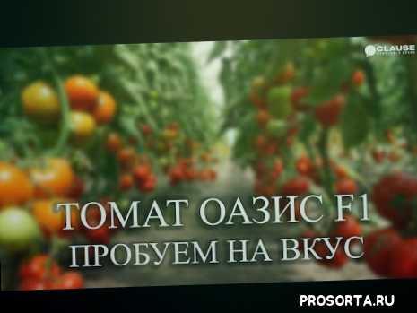 томаты в закрытом грунте, помидоры в теплице, томат оазис, тепличные томаты, томаты клоз, томат в теплице, как вырастить томат в теплице, семена clause