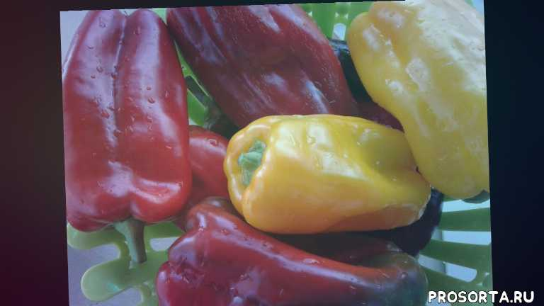 самый лучший, перцы, самый урожайный перец, лучший перец, самый лучший перец, перец, урожай перца