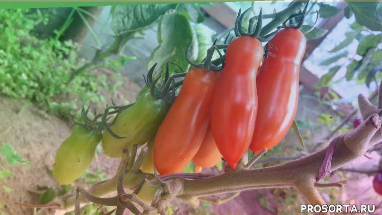 сладкий томат, flaschentomaten, томаты, помидоры, томат черри, кистевые томаты, фляшен, помидор
