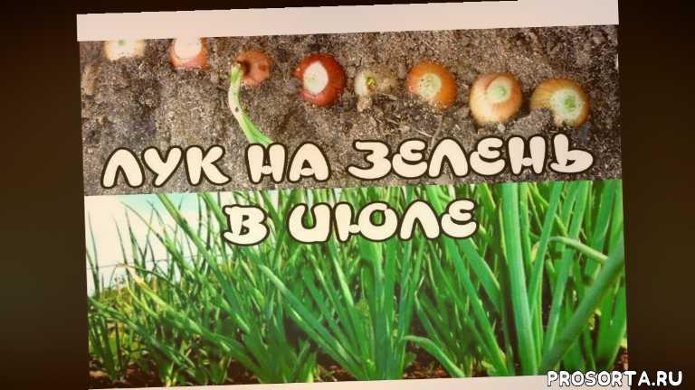 лук на зелен, сад огород, лук на зелень в июле, как сажать лук на перо, когда сажать лук летом, урожай, урожайный огород, огород