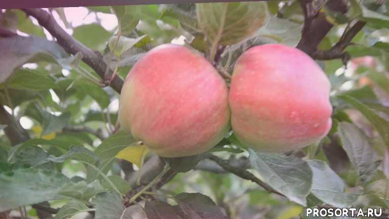 Саженцы яблонь зимних сортов Эдера