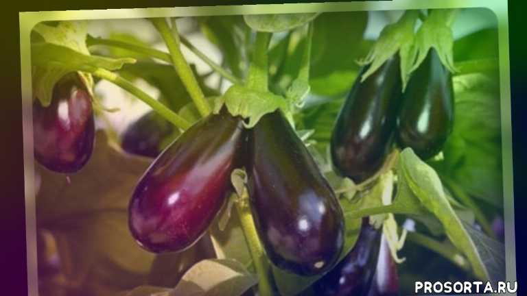 дачникам, овощи, огородникам, баклажаны, рассада баклажанов, полив баклажанов, подкормка баклажанов, супер урожай баклажанов