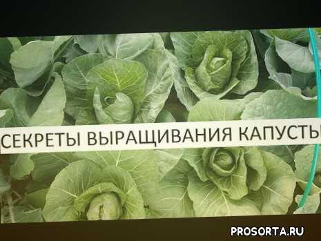 как вырастить капусту, секреты выращивания капусты