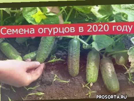 семена 2020, семена на рассаду, лучшие семена, семена, огурцы, гибриды, пять звезд, великолепная пятерочка