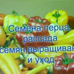 Семена перца , рассада семян перца выращивание и уход.