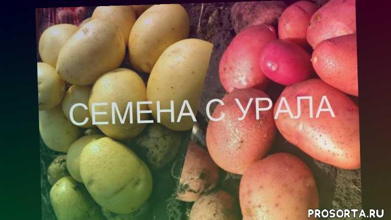 ред леди, лабелла, аризона, сорта ривьера, семена картофеля оптом, семена раннего картофеля, семена картофеля из свердловской области, семена картофеля с урала