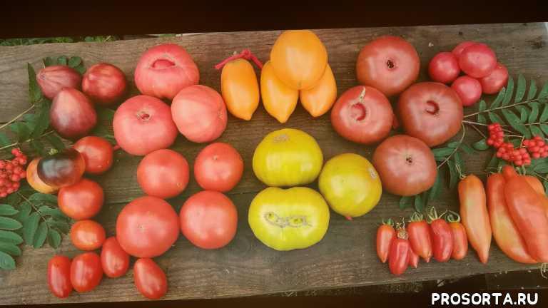 фермерство, красивое видео, все о томатах, как вырастить большой урожай, секреты хороших урожаев, лучшие гибриды томатов, обзор сортовых помидор, супер томаты в огороде