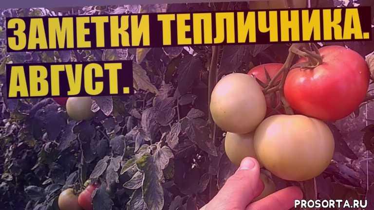 белокрылка, альтернариоз, тепличный томат, томаты, цинерария гибридная, в деревне, яков огородник, тепличный бизнес