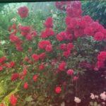 Штамбовые розы. Сад Елены Демьянчук. #штамбовые розы #розы