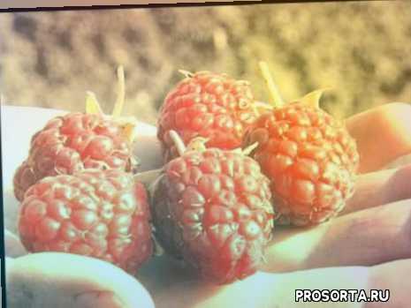 ягодные деревья, садовые кустарники, кустарники для дачи, плодовые кустарники, плодово ягодные, ягодные деревья и кустарники, плодово ягодный кустарник, ягодный кустарник