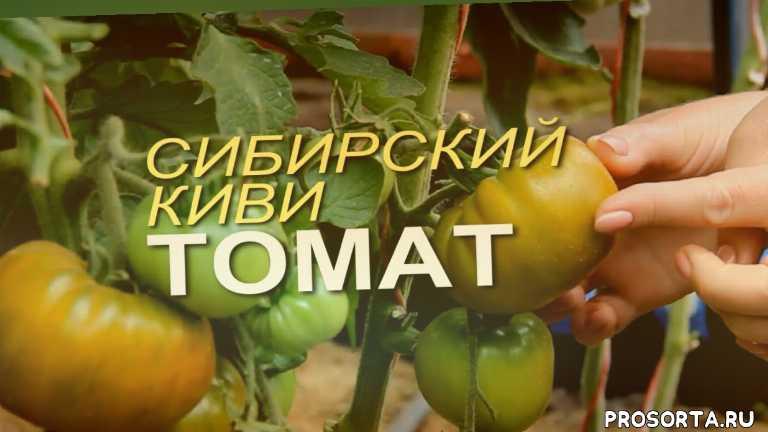 томат теплица, зеленые помидоры, сорта помидор, помидоры в теплице, урожайность томатов, томат характеристика и описание, томаты в теплице, плод томатов