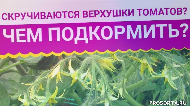микроэлементы для томатов, как выращивать томаты, садовый мир, наталья петренко, удобрения для томатов, чем подкормить томаты, скручиваются листья, скручиваются верхушки томатов
