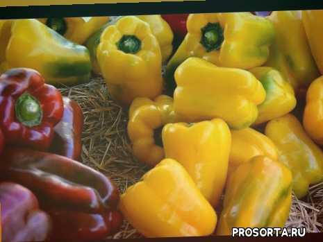 сладкий перец, самый урожайный перец, лучший сорт перца, урожайные сорта перца, новые сорта супер перца