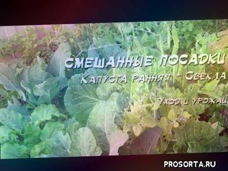 болезни, укроп, свекла, смешанные посадки, посадка, капуста, посев, разумное земледелие