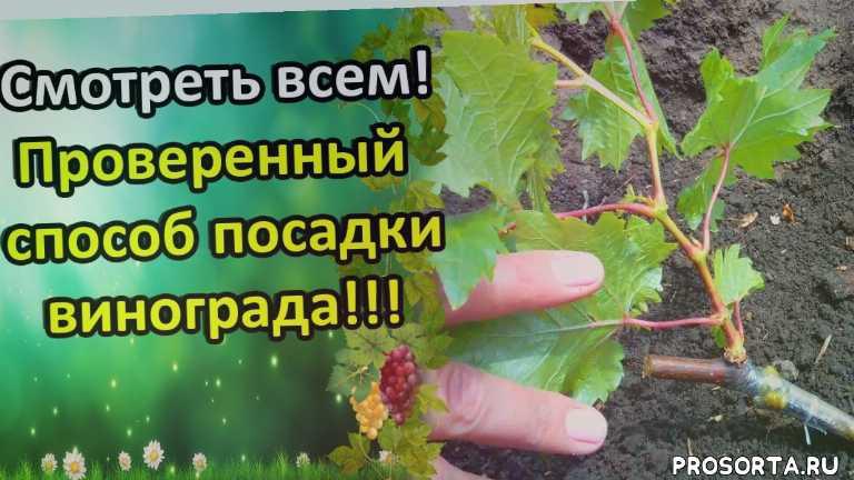 сад, татьяна огородница, татьяна огород, сад и огород, урожайный, урожайный огород, огород, лоза укоренение