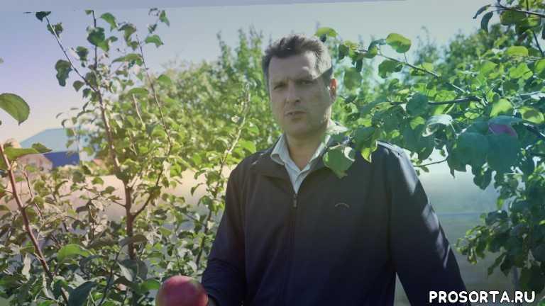 вкусный сорт яблок, какой сорт яблони посадить, лучший осенний сорт, сортя яблони рождественское, яблоня рождественское, зимние сорта яблони, лучшие сорта яблони, сорт яблони