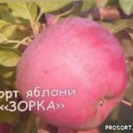 Сорт яблони «ЗОРКА» /// Сладкая сестра ИМАНТА