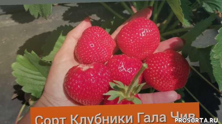 Сорт Клубники Гала Чив