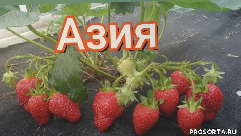 елена стежко, belarus, беларусь, деревня ручей, ягода 30 грамм, крупные ягоды клубники, ягоды клубники, клубника азия