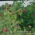 Сорт малины Маросейка, Агрофирма Виктория (видео 1)