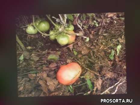 помидор батяня, помидоры