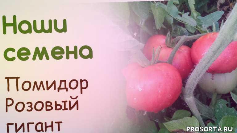 свои семена, семена, помидор, томат, розовый гигант, выращивание