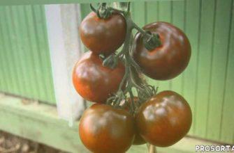 теплица, сорт, сорта томатов, помидоры, томаты