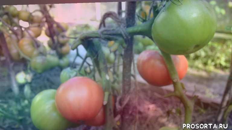 теплица, огород, сад, дача, сорта помидоров, сорта томатов, сорт, помидоры