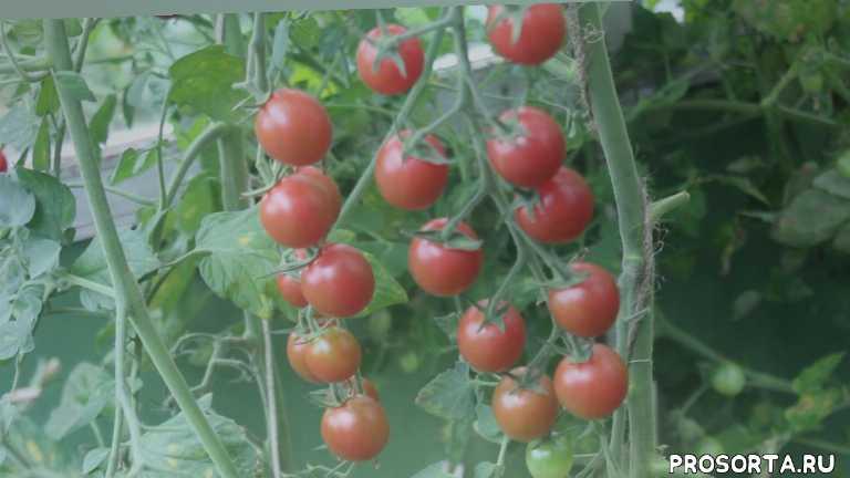 огород, сад, рассада, семена, сорта томатов, помидоры, томаты