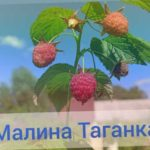 Сорт Таганка, малина летняя.
