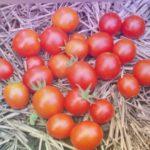 """Сорт томата """"Черри красный низкорослый"""""""