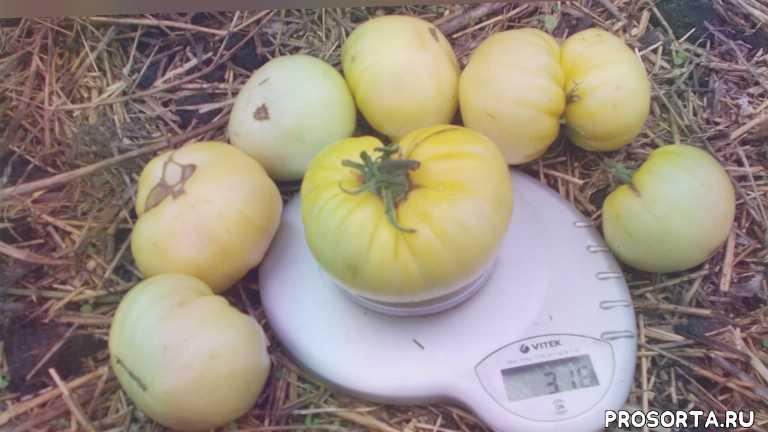 сорта помидоров для теплиц, помидор крупноплодные, сорта крупноплодных помидор, крупноплодные сорта томатов, крупноплодные томаты для теплиц, крупноплодные томаты сладкие лучшие, крупноплодные томаты, great white tomato