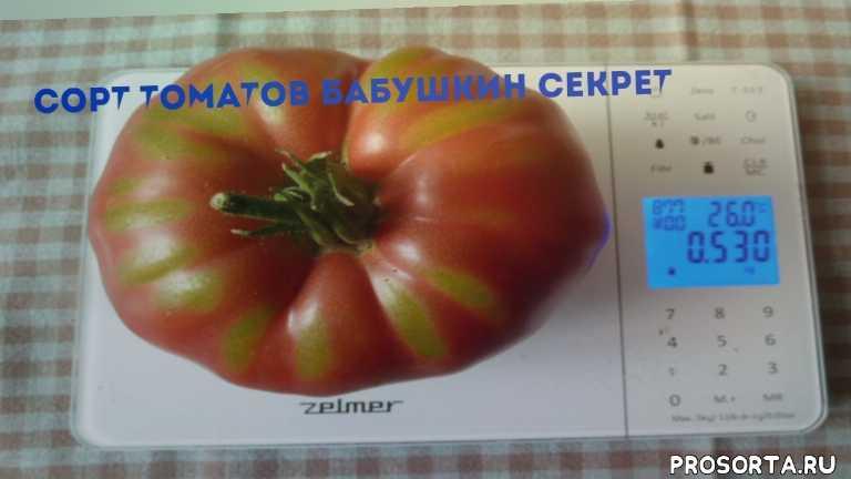 сорт помидоров бабушкин секрет, бабушкин секрет, сорт томатов бабушкин секрет