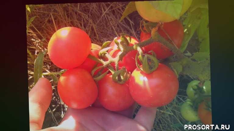 урожайные сорта помидор, устойчивые сорта помидор, джина, санька, сорта томатов, сорта помидор, томаты, помидоры