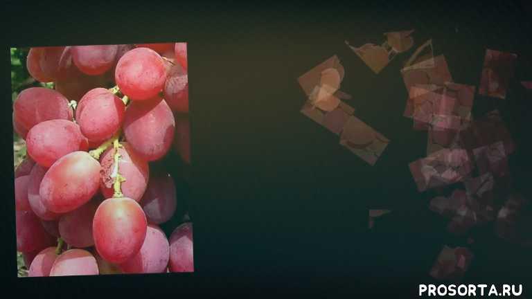 kinds grapes, grapes table, grapes, food (tv cenre), мускатный, цветок обоеполый, раннесредний, крупная
