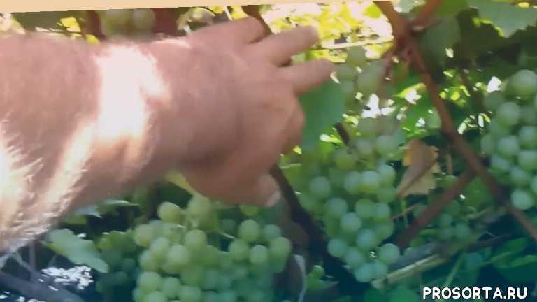 виноград лучшие сорта, виноград болезни и вредители, сорта винограда для начинающих, как укрыть виноград, как обрезать виноград, как поливать виноград, как посадить виноград, винный сорт винограда