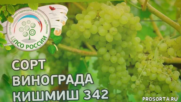 виноград 342, кишмиш, кишмиш 342, сорт винограда кишмиш 342, северный виноград, виноград в средней полосе, виноград в подмосковье, сорта