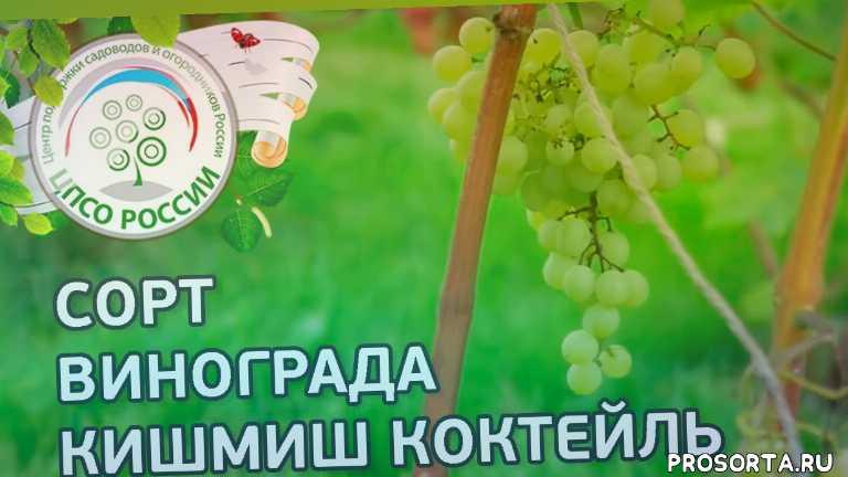 коктейль, кишмиш, кишмиш коктейль, сорт винограда кишмиш коктейль, северный виноград, виноград в средней полосе, виноград в подмосковье, сорта