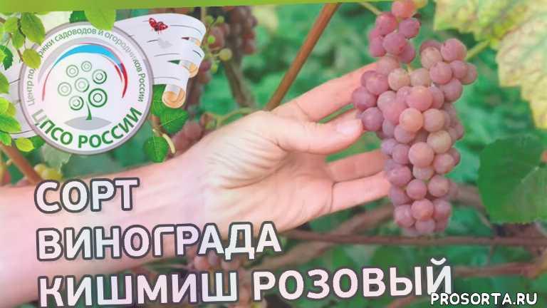 розовый, кишмиш, кишмиш розовый, сорт винограда кишмиш розовый, северный виноград, виноград в средней полосе, виноград в подмосковье, сорта