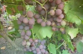 рошфор, сильнорослый, сорт, виноград