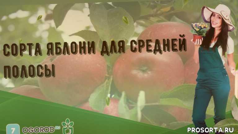 Сорта яблони для средней полосы