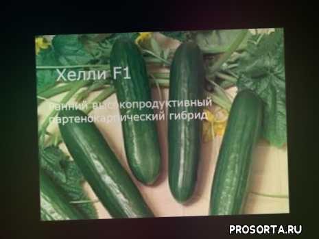 огурцы, семена огурцов +для теплицы, лучшие семена огурцов, самоопыляемые сорта огурцов, семена огурцов, урожайные сорта огурцов +для теплиц, огурцы сорта, огурцы +в теплице