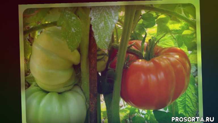 что посадить, огородникам, семена на рассаду, семена томатов, сорта томатов, янтарный, подснежник, снегирь