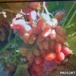 Сорта винограда 2020. Полонез-50 - розовый красавец очень раннего срока созревания