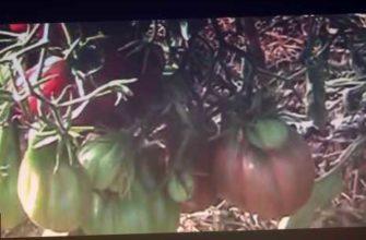 сортовые томаты. гибрид или сорт? //секреты хороших урожаев., сортовые томаты. гибрид или сорт?