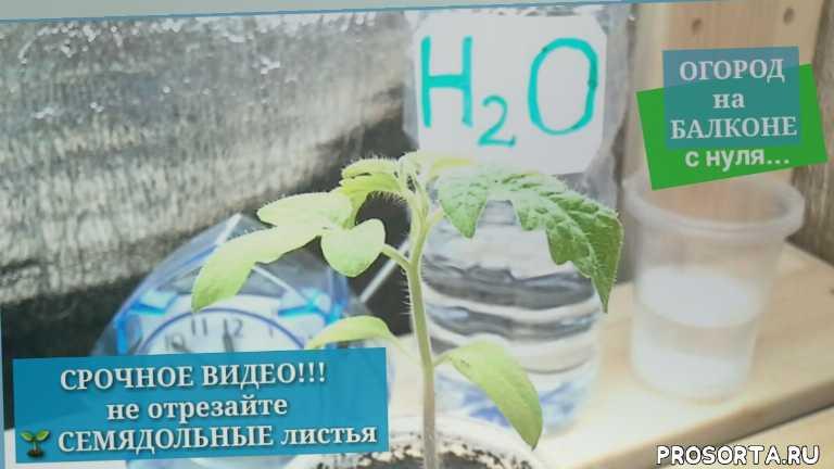 фотосинтез в листьях, #огород на балконе с нуля, полив растений, листья растений, огород, семядольные листья, #svetlanalifevlog, svetlana lifevlog