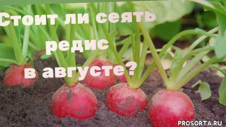 что посадить в августе, что можно посеять в августе, в августе, как посадить редис, как вырастить редис, как сажать редис, редиска, редис посадка